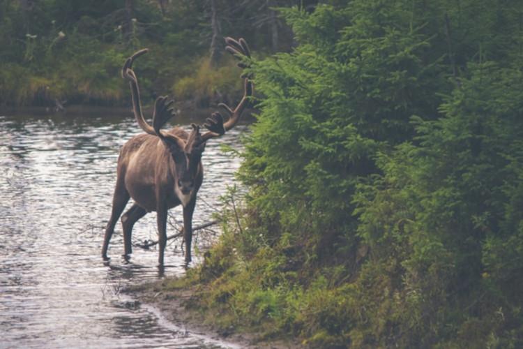 Mountain Caribou, Forest Unicorns